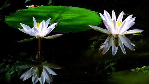 Beautiful water lily flowers at mysterious dark pond Footage