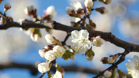 A close-up of a beautiful growing branch of apricot or sakura blossoming flower  Footage