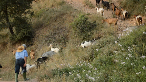Goatherd goes uphill with his goats Footage