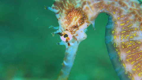 Thorny Seahorse. Close up 4k Live Action