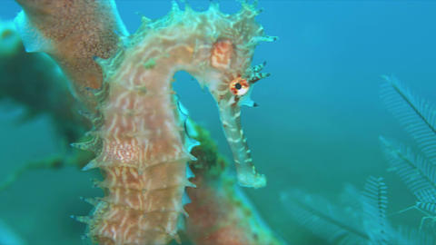 Thorny Seahorse. 4k Live Action
