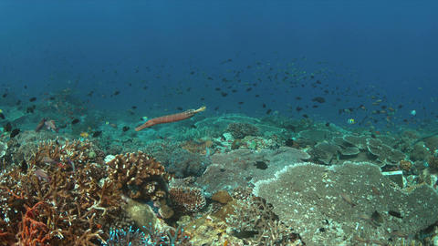 Trumpetfish on a colorful coral reef. 4k Live Action