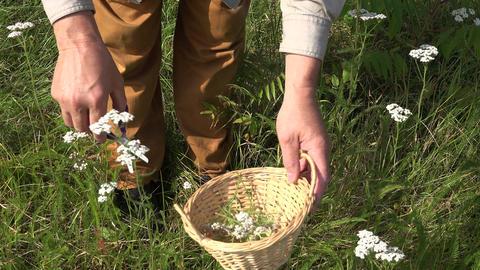 Herbalist picking yarrow in wicker basket, 4K Footage