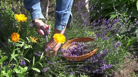 Gardener collecting lavender Footage