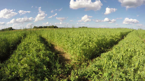 Clouds moving over pea field, time lapse 4k Footage