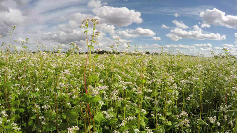 Field of buckwheat on sunny cloudy day, time lapse 4K Footage