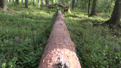 Fallen pine tree Footage