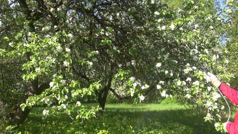 Gardener spraying apple tree Footage