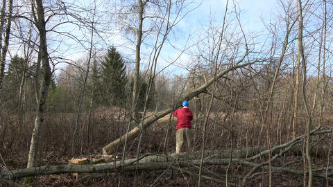 worker cutting maple tree in early spring forest with chainsaw Footage