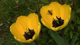Yellow tulips and bee in the garden - macro Footage