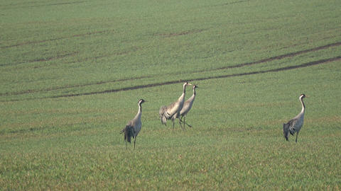 Two pairs common cranes Grus grus on farmland in spring, 4K Live Action