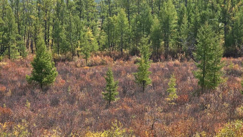 Edge of forest with growing young pines Footage