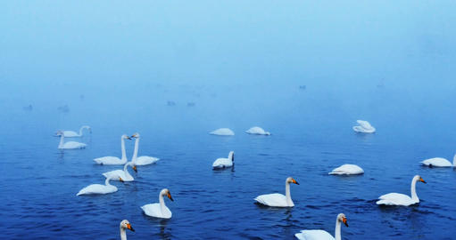 A flock of swans on a winter lake covered with fog Footage