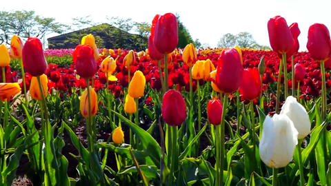 Colorful field with blooming tulips Footage