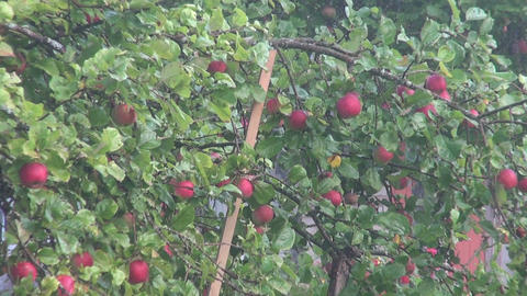 Supported apple tree Footage