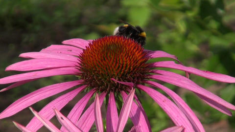Bumblebee on Echinacea Footage