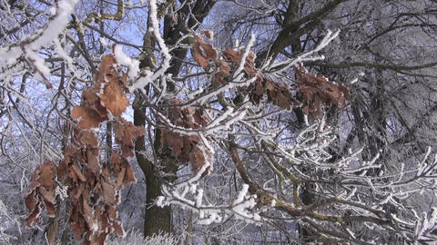 Frost covered oak branch Footage