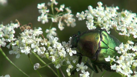 Green rose chafer on flowering plant Footage