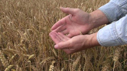 Farmer checking ripe wheat Footage