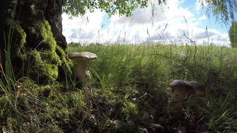 Boletus edulis on the edge of forest, time lapse 4K Footage
