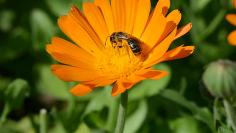 Wild bees picking pollen from marigold Footage