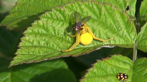 Spider with caught fly Footage