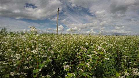 Field of buckwheat on sunny cloudy day, 4K Footage