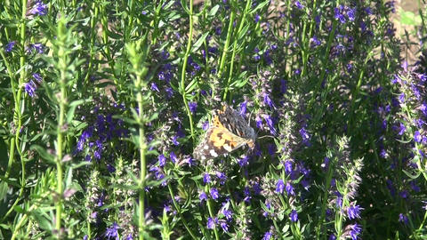 Painted lady butterfly on Hyssopus officinalis Footage