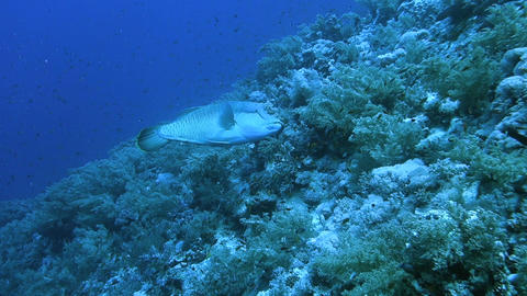 Napoleon fish or humphead wrasse Footage