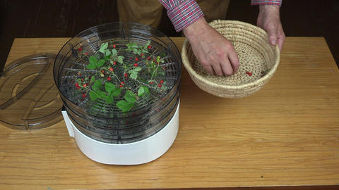 gardener placing wild strawberries for drying Footage