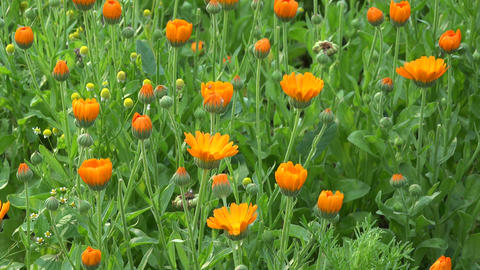 Calendula officinalis growing in the garden Footage