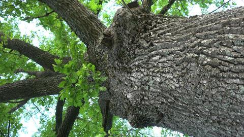 Large oak tree and camera motion, 4K Footage