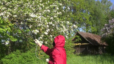 Farmer spraying flowering apple tree Footage