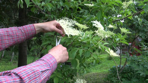 Herbalist collecting flowering sambucus nigra Live Action