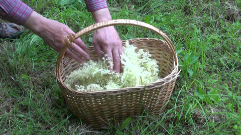 Herbalist collecting flowering sambucus nigra in wicker basket Live Action
