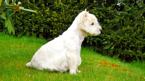 West Highland White Terrier sitting on the fresh green grass in the garden. The  Footage