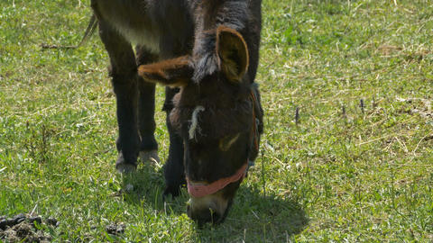 Donkey is Grazing Footage