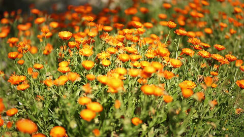 Group of Calendula Suffrutcosa Flowers Footage