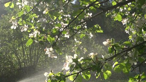 Spraying flowering apple tree Footage