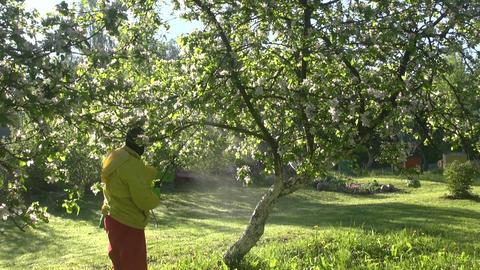 Man spraying flowering apple tree Live Action