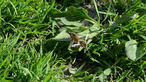 Two copulating insect Bombylius major Live Action