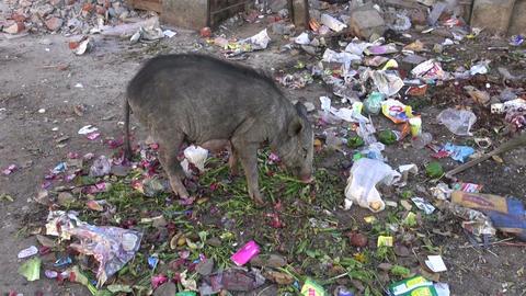 Jaipur, Rajasthan, India, December 2012 - pig eating rubbish Footage