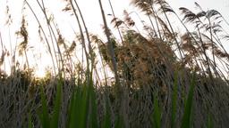 sun shining through the tall grass Footage