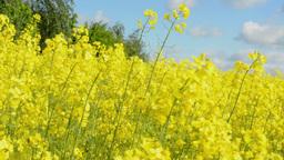 field of plants rape (colza) Footage