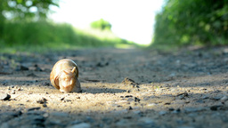 snail crawls on path (in nature) Footage