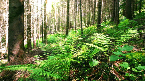 Sunny morning in deep mossy highland forest with wild fern plant Footage