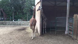 Couple of giraffes in the zoo Footage