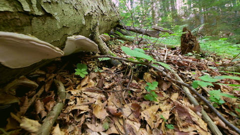 Old mossy tree stump with Tinder Polypore Fungus Footage
