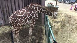 Top view of giraffe eating Footage