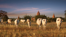 Cattle herd going through amazing sunset landscape at Bagan. Myanmar Footage